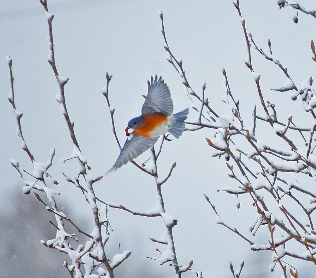Snow Bird in Flight